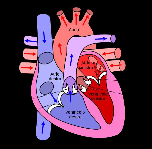 Закладка сердца (и сосудистой
