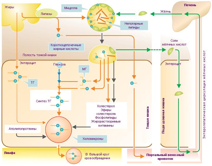 Активация жирной кислоты